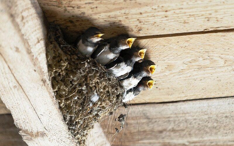 nido delle rondini